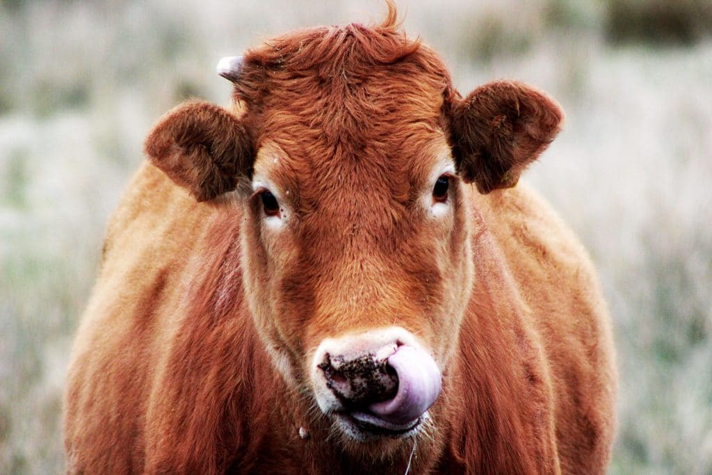 Vous ne serez pas entourés que de vaches